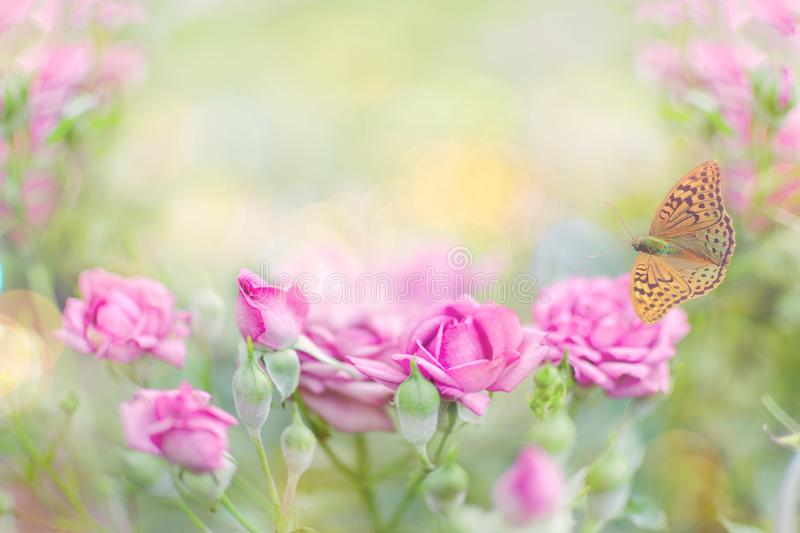 Pink roses in the garden. Photo with low depth of field. royalty free stock photo