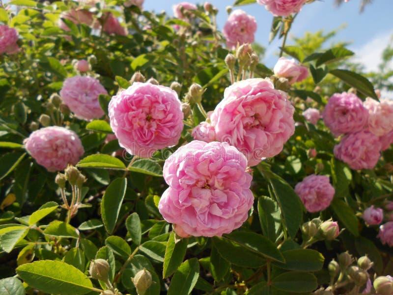 Pink roses garden Real Alcazar royalty free stock photo