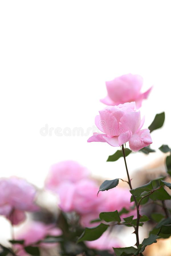 Pink roses on isolated background stock image