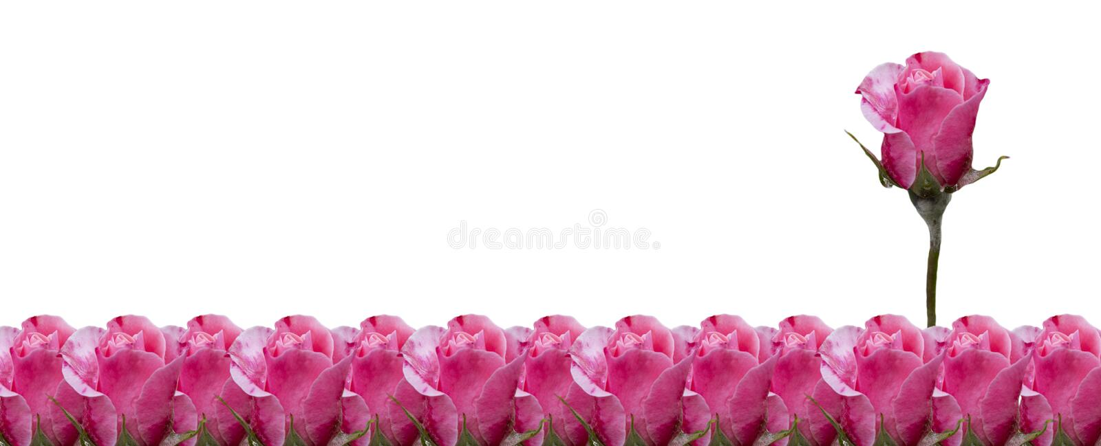 Pink roses isolated on white background royalty free stock photography