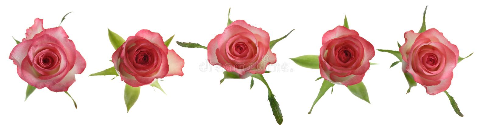 Pink roses, linear arrangement royalty free stock images