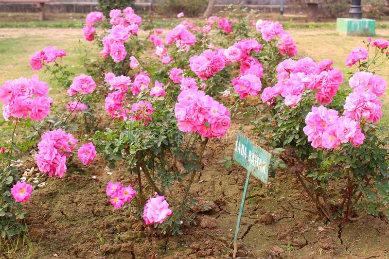 Pink Roses in National Rose Garden, New Delhi, India. Pink roses in full bloom in National Rose Garden during the winter season in New Delhi, India stock photo