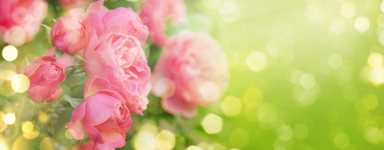 Pink roses on natural green background, summer landscape, banner format. Pink roses on natural green background, summer landscape, banner  format stock photography