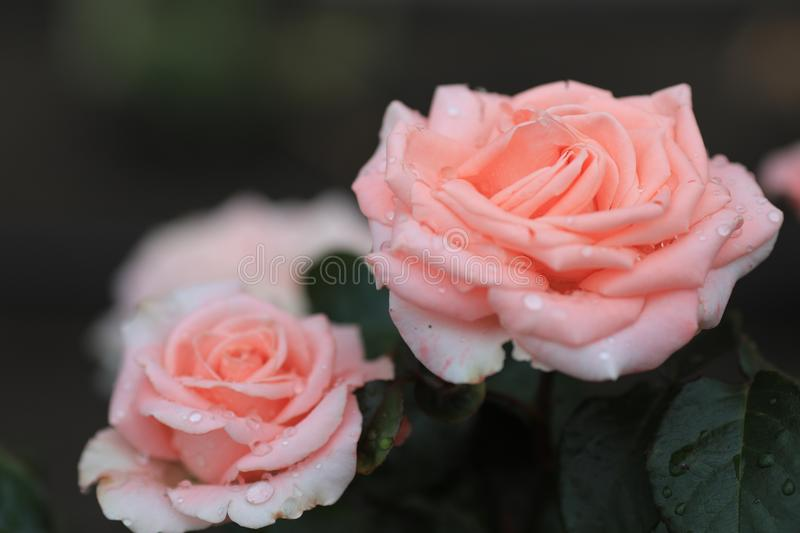 A gentle, pink rose. stock photo