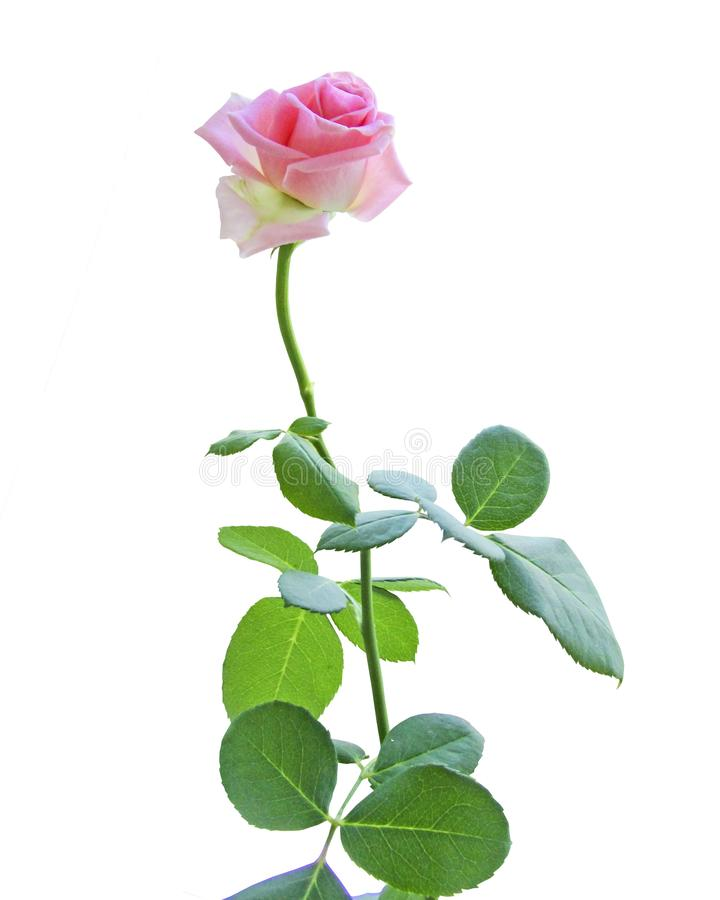 Free Pink Roses On White Background. Flower Head Stock Photo - 140834300