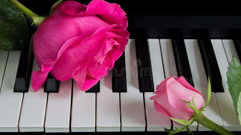 Pink roses on the piano. A big flower and a small Bud. Romance, celebration, postcard. Mother`s day, Birthday, March 8, Valentine. `s day. Attention, Date, Love stock photos