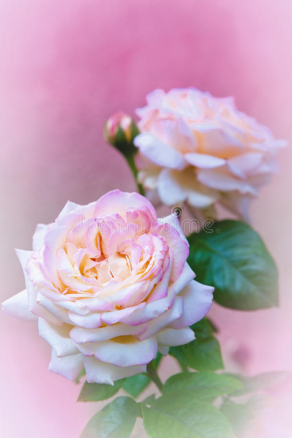 Pink Roses On Pink Stock Photography