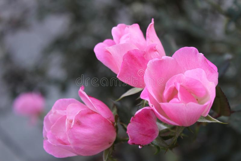 Bright rose stock images