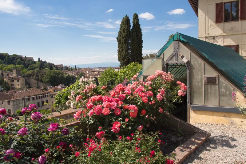 Pink roses in Rose Garden in Florence, Tuscany, Italy stock photography