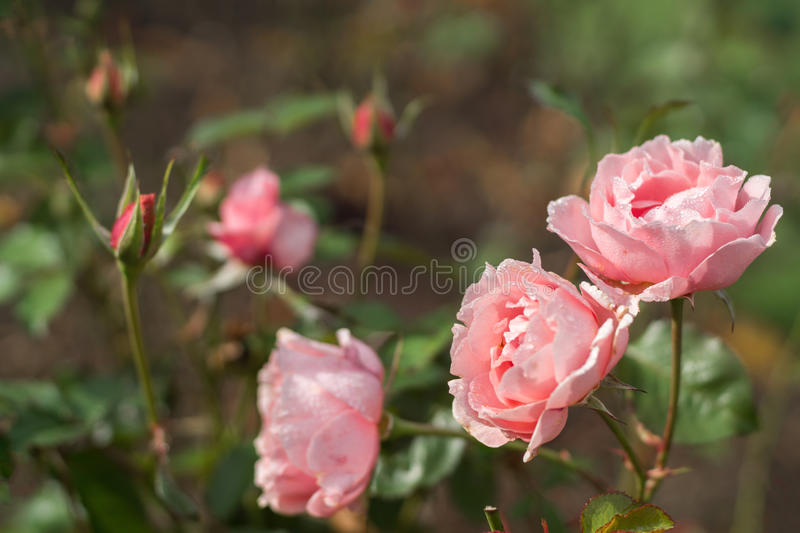 Pink Roses. Roses with rosebud in garden royalty free stock photos