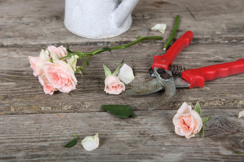 Pink roses and secateurs. Bouquet of pink roses and secateurs on a wooden background stock photo