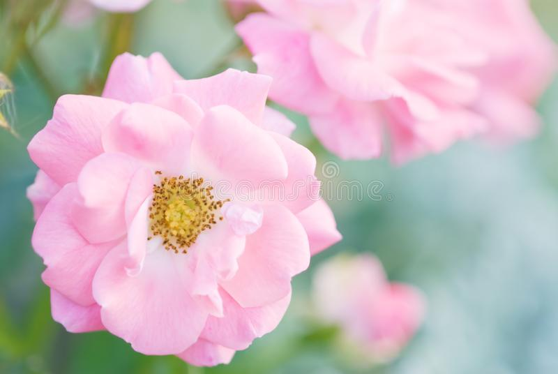 Pink roses in the garden in summertime. Soft image of pink roses in the garden. Selective focus and shallow depth of field stock photography