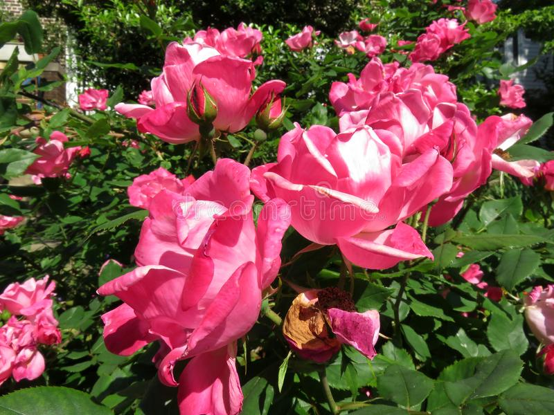 Pink Roses in Spring in May stock images