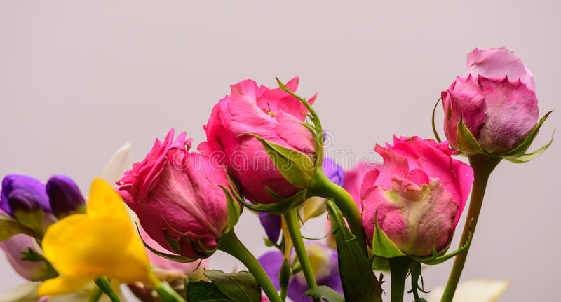 Pink roses, springtime. stock image