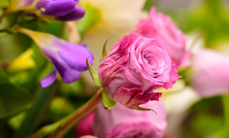 Pink roses, springtime. stock photo