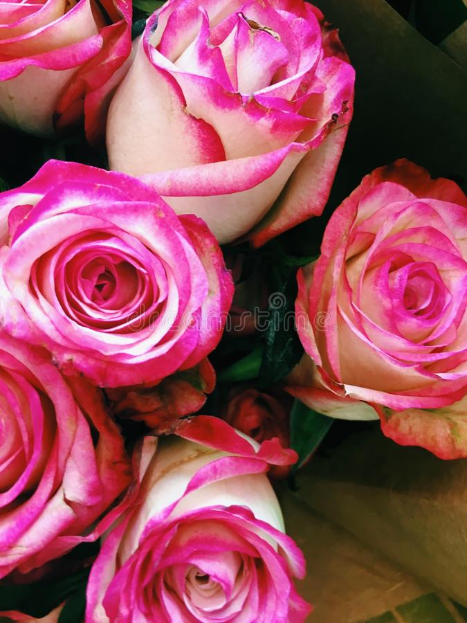 Pink roses at supermarket royalty free stock images
