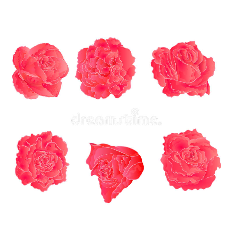 Pink roses vector. Blossom pink roses symbol of love vector illustration vector illustration