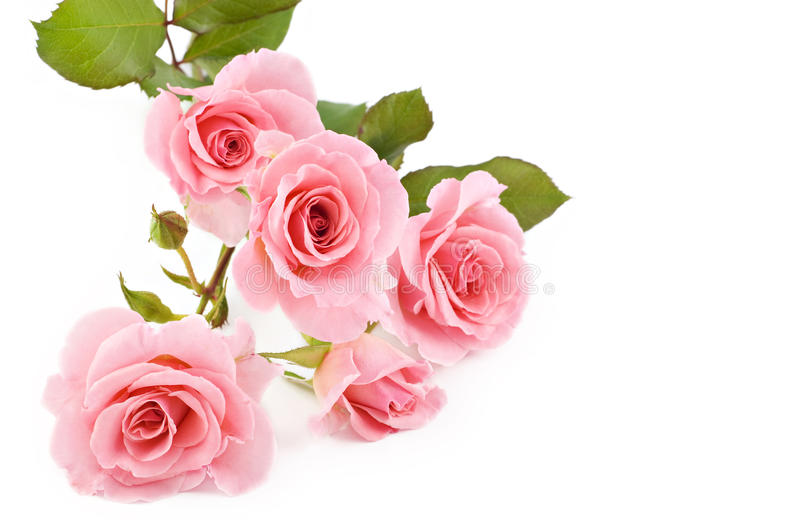 Pink Roses White Background Royalty Free Stock Photos