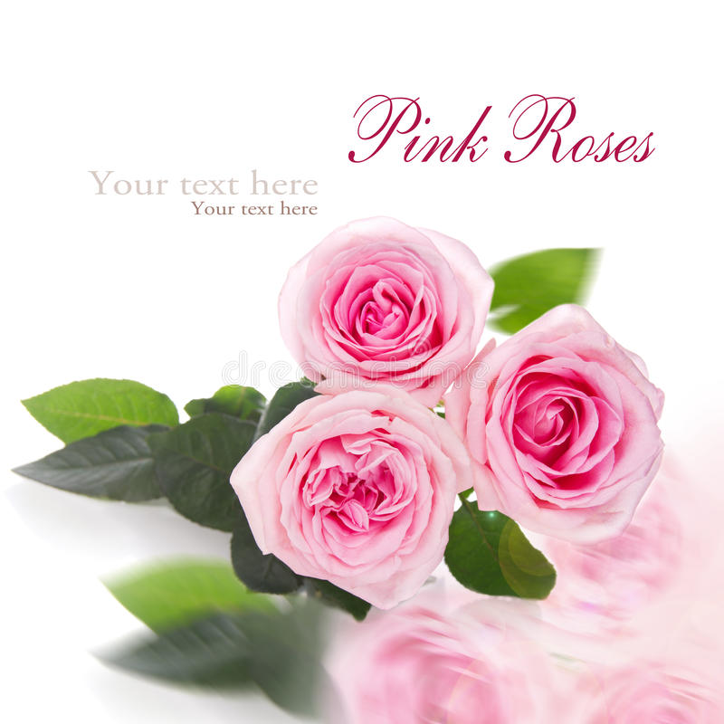 Download Pink Roses On White Background Stock Image - Image: 28788565