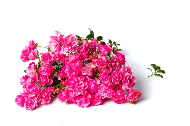 Pink roses on white background top view royalty free stock images