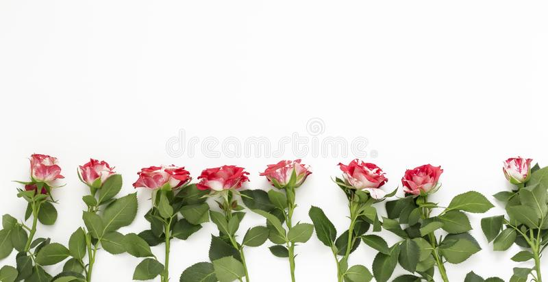 Pink roses on white background. Valentine`s day, mother`s Day, women`s day concept. Flat position, top view, copy space royalty free stock image