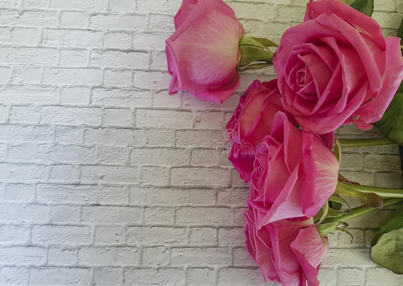Pink roses on a white brick wall decoration invitation royalty free stock images