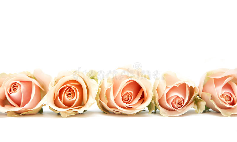Pink roses on white. Five pink roses lying flat isolated on a white background royalty free stock image