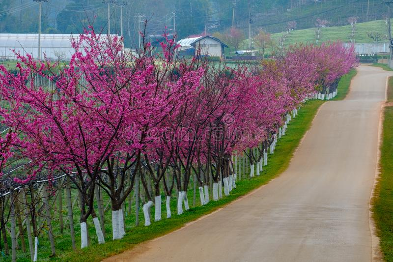 Pink route derived from the beautiful of Sakura, Cherry Blossoms in doi angkhang mountain Royal Agricultural Station Angkhang, stock images