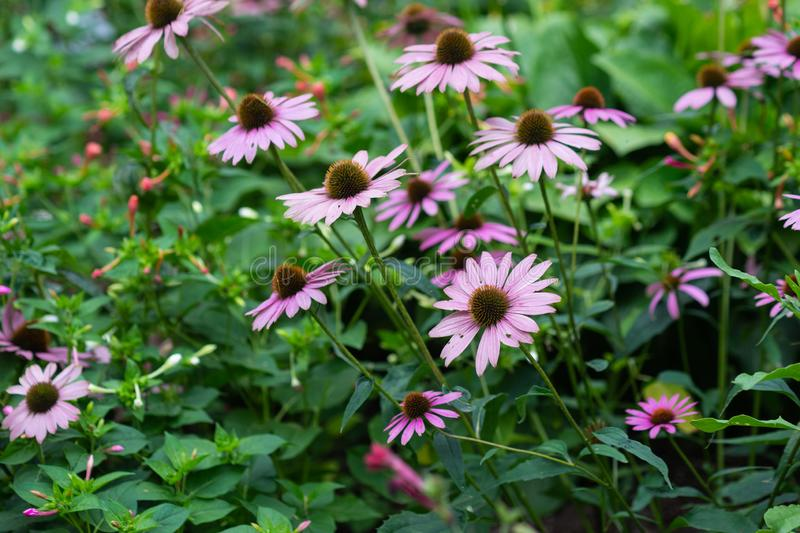 Pink Rudbeckia flowers royalty free stock image