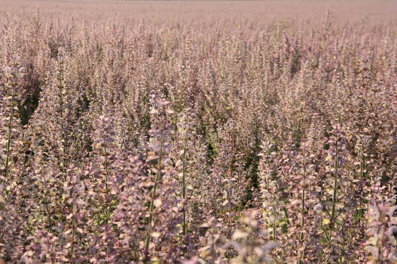 Pink sage flowers in the field summer background stock photos