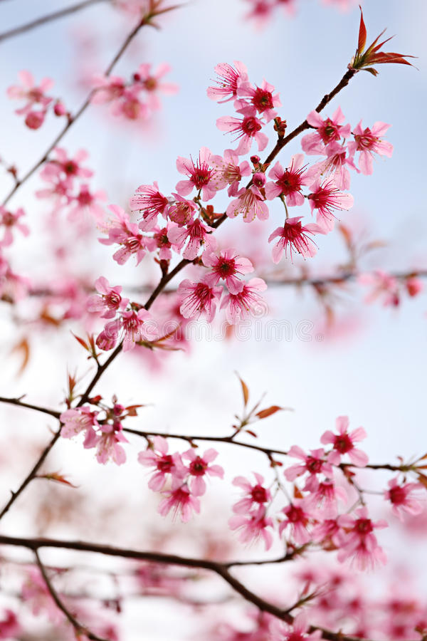 Free Pink Sakura Blossom Stock Photo - 17500100