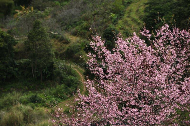 Pink Sakura blossom royalty free stock photos