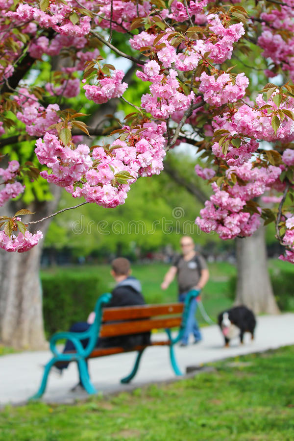 Pink sakura blossom in Uzhgorod, Ukraine. Pink sakura flowering cherry blossom on the Kyiv embankment in Uzhgorod, Ukraine royalty free stock images