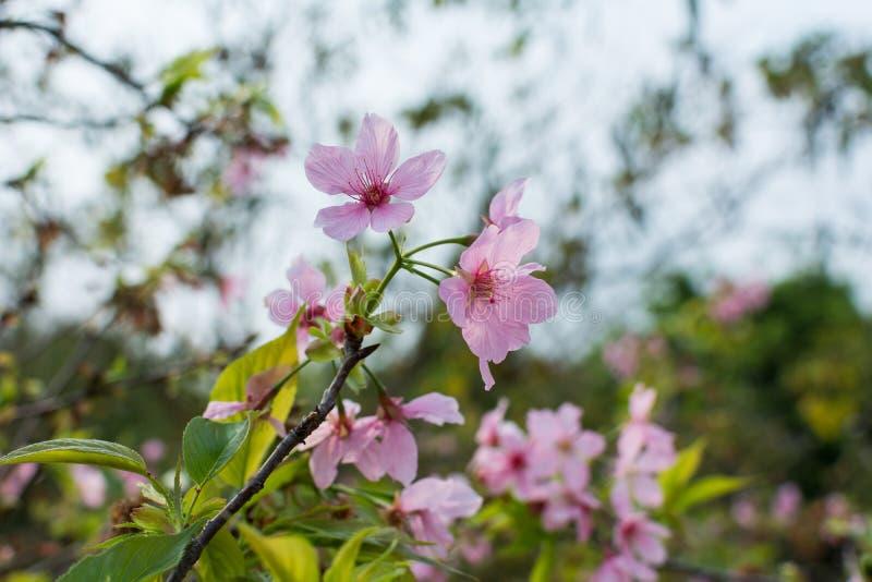 Pink sakura (Canton cherry blossoms) stock photography