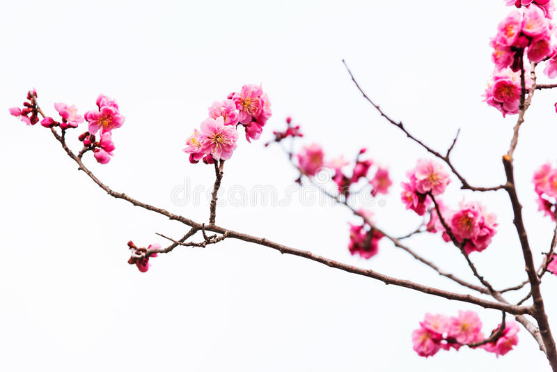 pink sakura cherry blossom isolated royalty free stock images