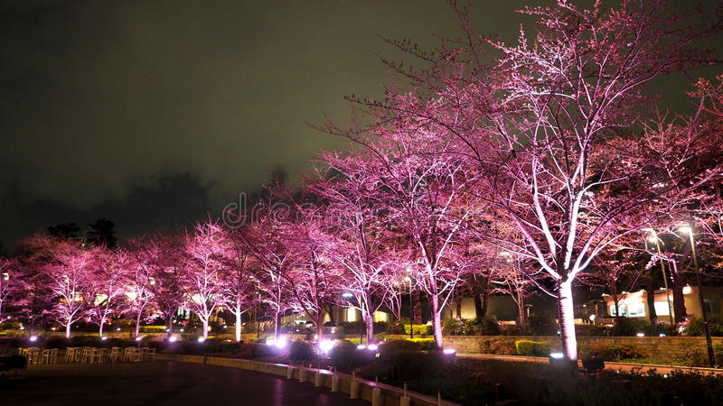 Pink sakura or cherry blossom at night in Roppongi Tokyo Midtown. And light and flare in to camera and background landscape royalty free stock photos