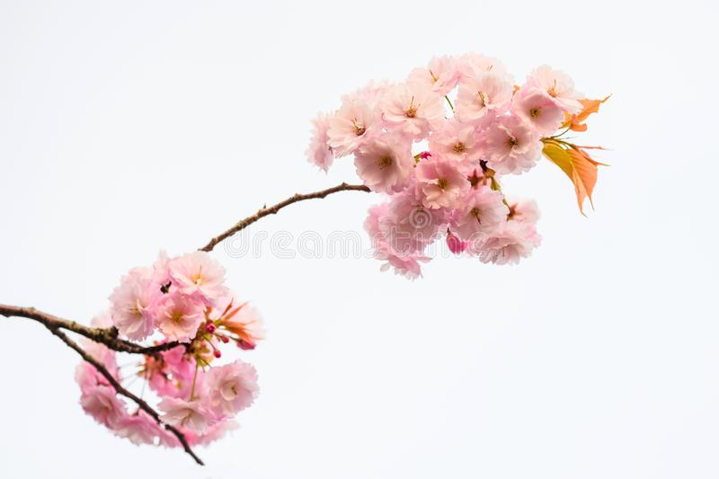Pink sakura or Cherry blossom on white background stock photography