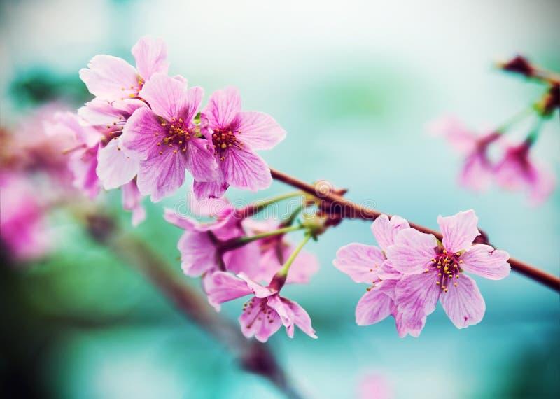 Pink Sakura flower blooming stock photography