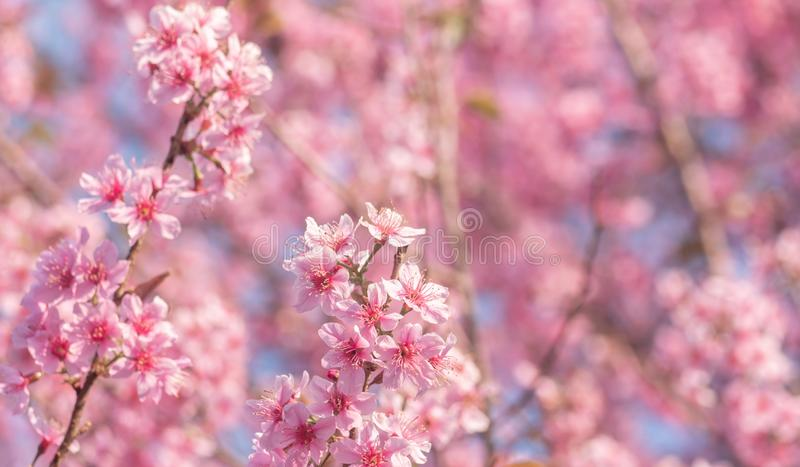 Pink sakura flower, Cherry blossom, Himalayan cherry blossom close up background in Thailand. stock images