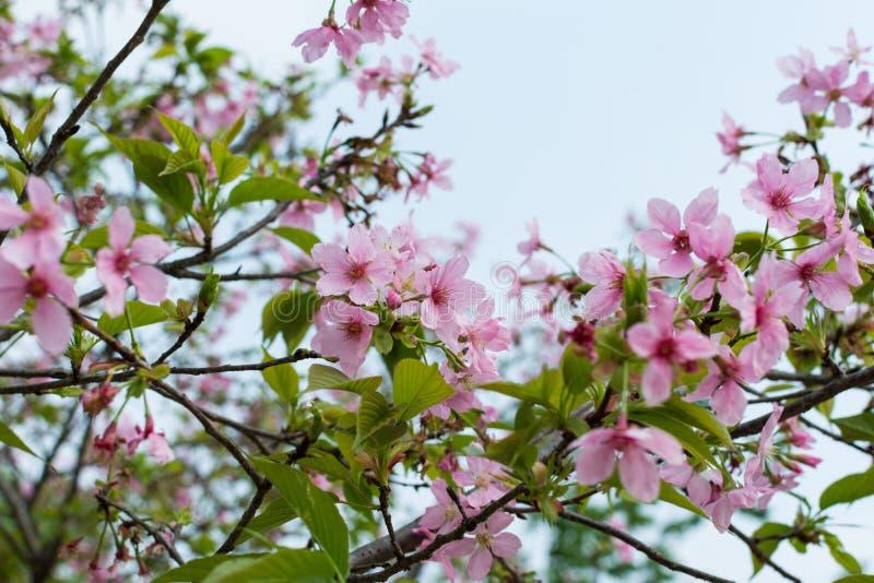 Pink sakura flower stock photography