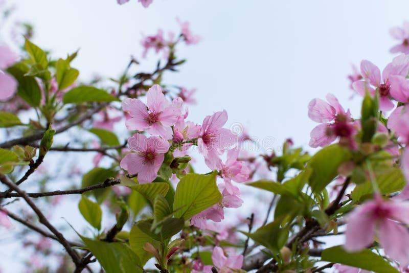 Pink sakura flower royalty free stock images