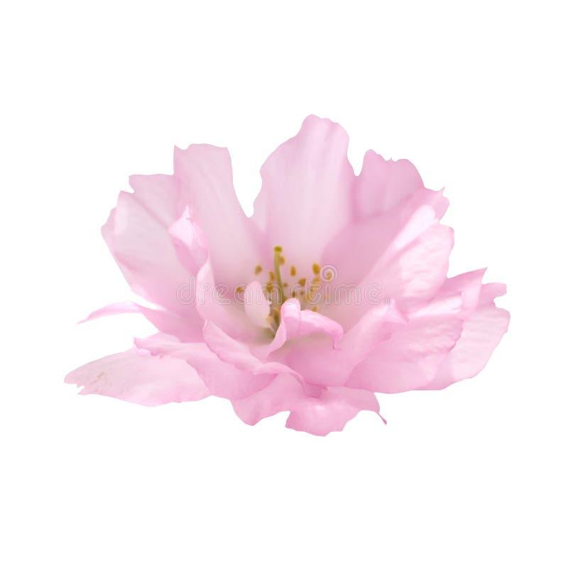 Pink sakura flower isolated on white royalty free stock image