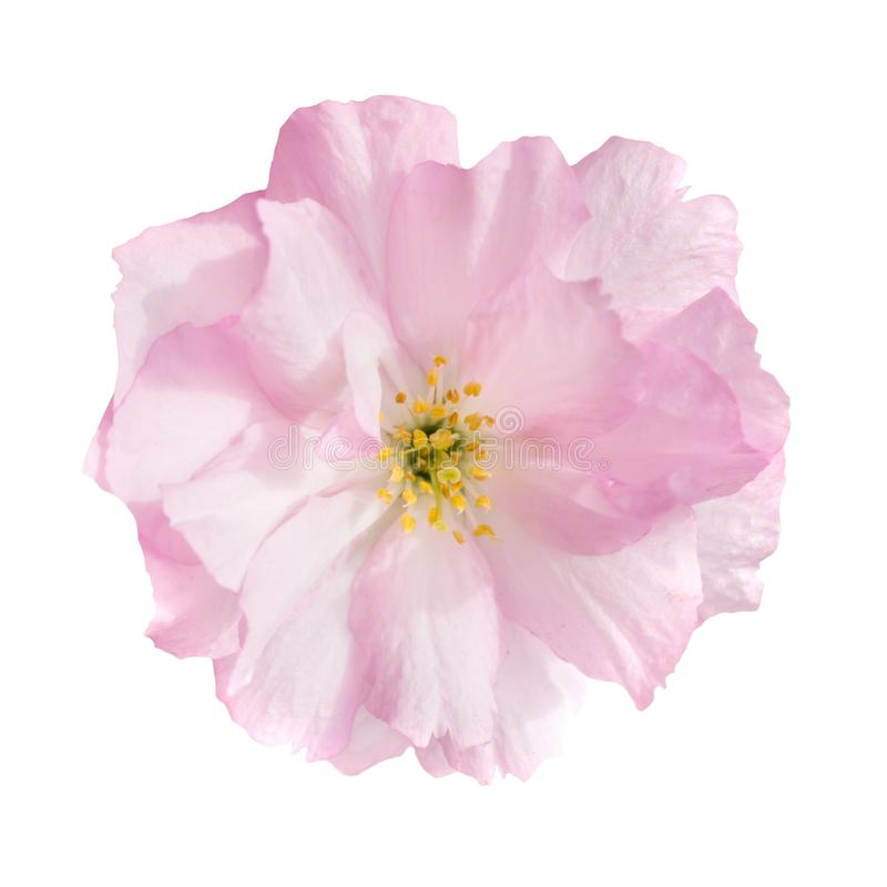 Pink sakura flower isolated on white royalty free stock photo