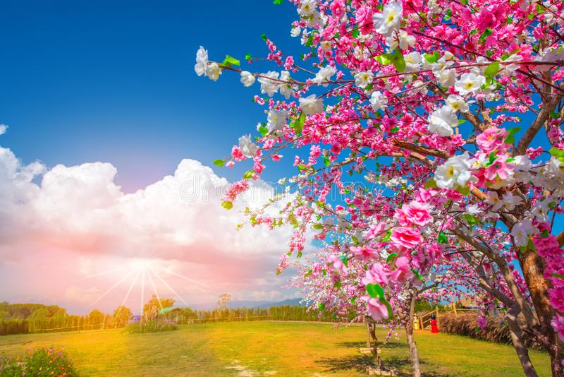 Pink sakura flowers in beatiful , spring blossoming cherry tree branch and sun shine through trees stock photo
