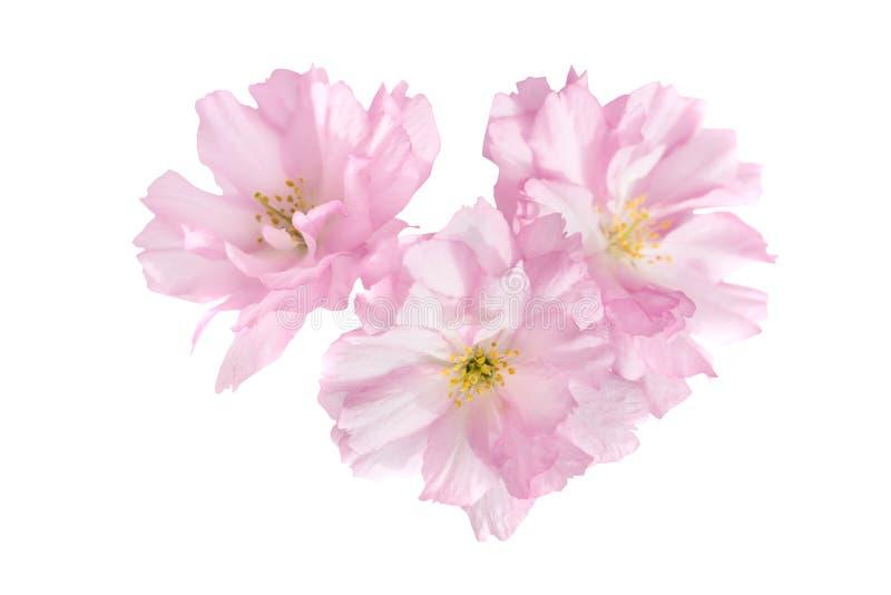 Pink sakura flowers isolated on white royalty free stock photo