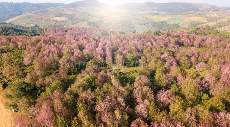 Pink sakura forest on mountain near agriculture aera royalty free stock photography