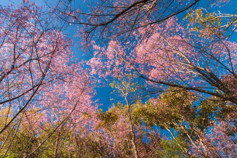 Download Pink sakura on road stock image. Image of blooming, blue - 33697893