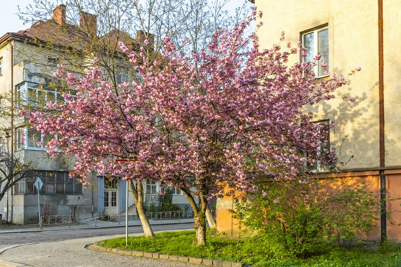 Pink sakura trees on the street of Uzhgorod, Ukraine. Blossoming pink sakura trees on the streets of Uzhgorod city, Transcarpathia, Ukraine. Sakura can be found stock photography