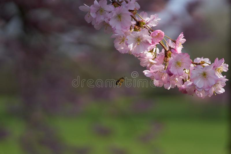 A bee approaching sakura flowers in blossom. Pink sakuras in blossom  against blue sky, sunny spring day with a bee approaching stock photos