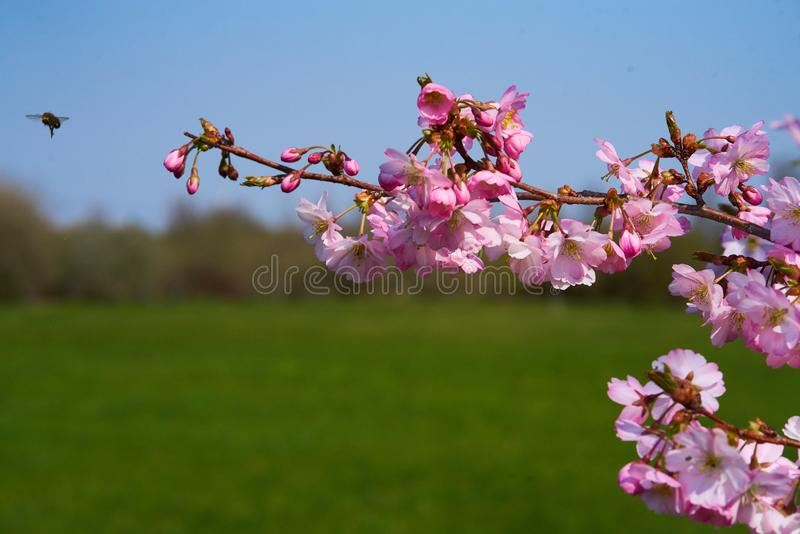 A bee approaching sakura flowers in blossom. Pink sakuras in blossom  against blue sky, sunny spring day with a bee approaching stock photography